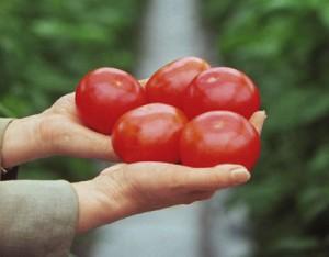 Вредны ли помидоры?