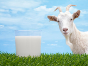 Вред козьего молока